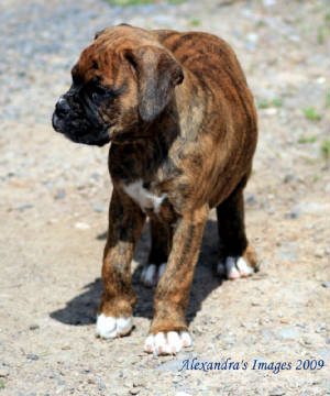 boxerpupcooperpmodified.jpg